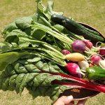 幼稚園で収穫したラディッシュ、ピーマン、スイスチャード
